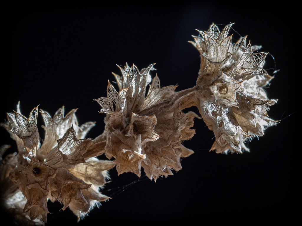 "DPI of the Month - ""Filigree Lace Seed Head"" - Eve Taylor"